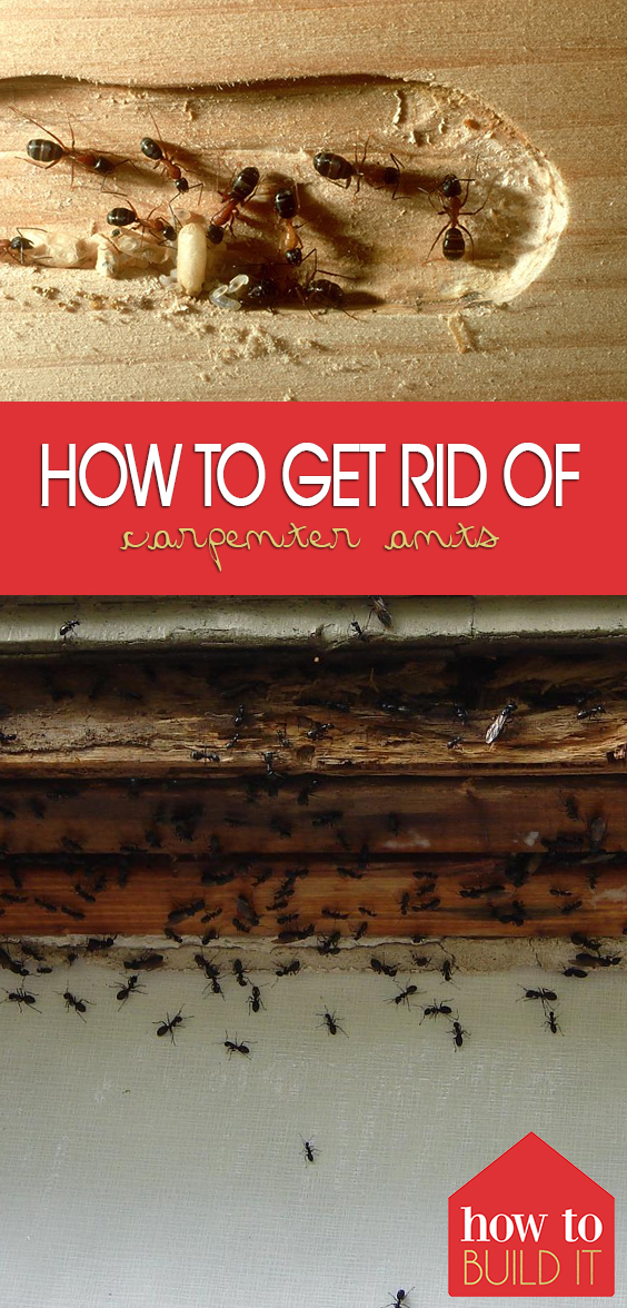 How to Get Rid of Carpenter Ants| Carpenter Ants, How to Get Rid of Carpenter Ants, Carpenter Ants In House, Pest Control